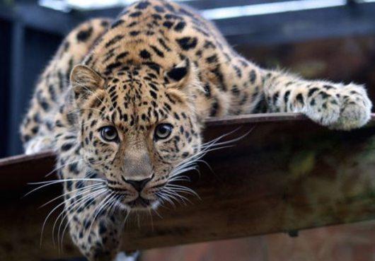 leopardali amour